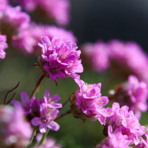 ljuvlig_blomma-0185